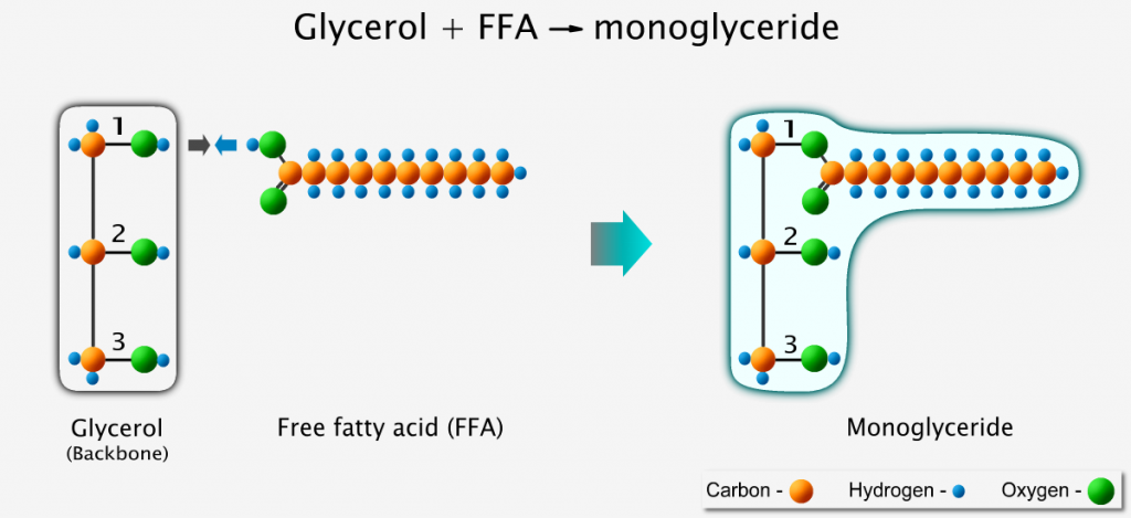 A free fatty acid binds to glycerol to form monoglyceride