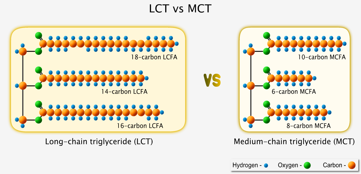 A larger long-chain triglyceride versus a smaller medium-chain triglyceride