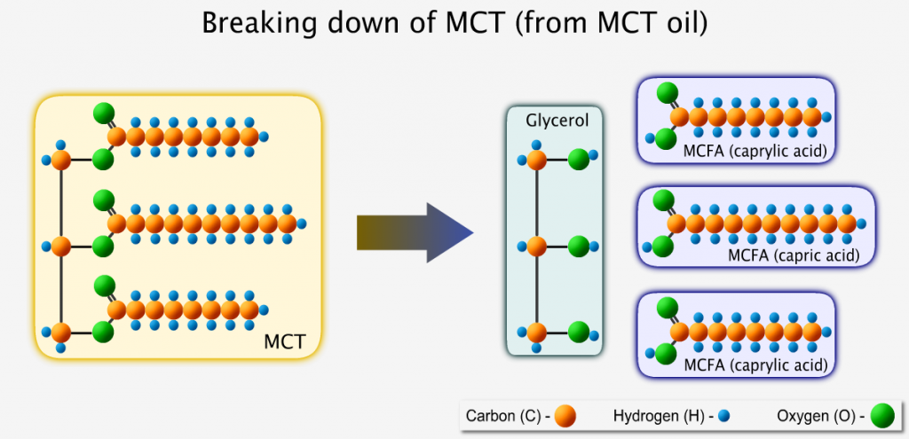 Breaking down of MCT from MCT oil