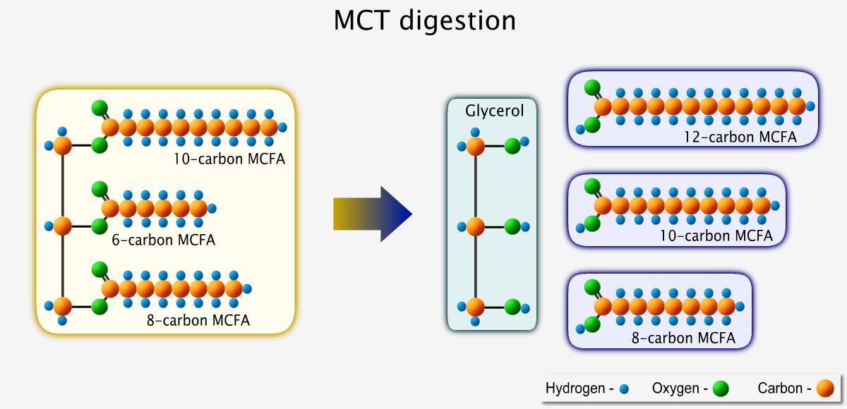 A medium-chain triglyceride splits into glycerol and 3 medium-chain fatty acids upon digestion