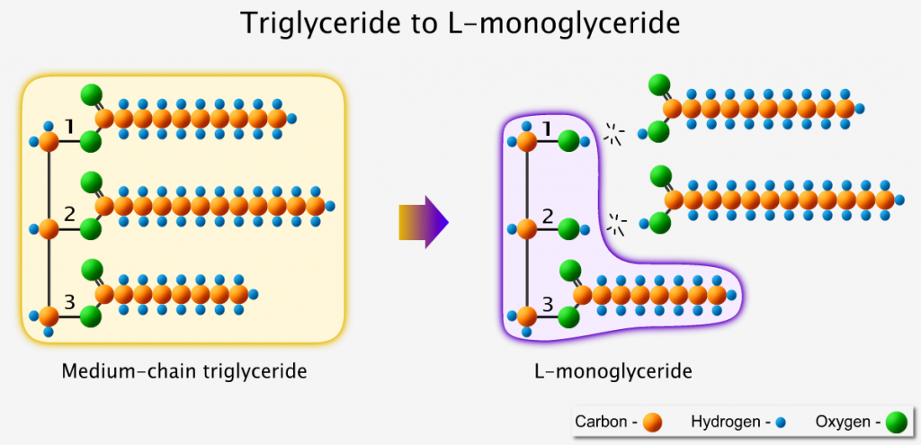 Triglyceride converts into L-shaped monoglyceride